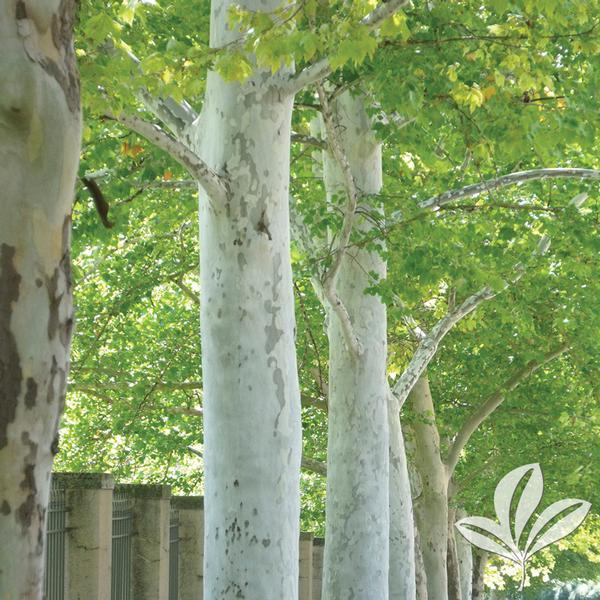 Platanus X Acerifolia GREJTN ROCKFORD ROADTM PLANETREE