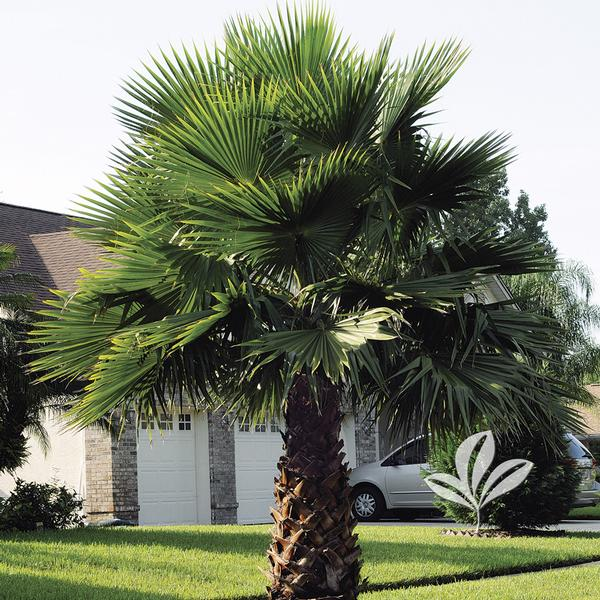 washingtonia robusta mexican fan palm from greenleaf nursery. Black Bedroom Furniture Sets. Home Design Ideas