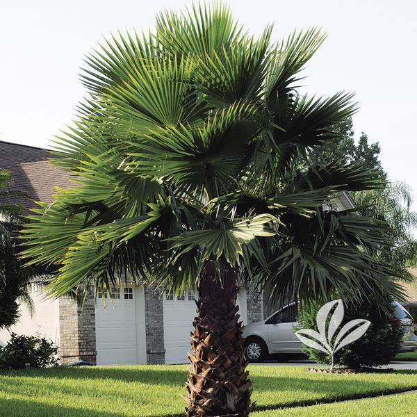 washingtonia robusta mexican fan palm from greenleaf nursery. Black Bedroom Furniture Sets. Home Design Ideas