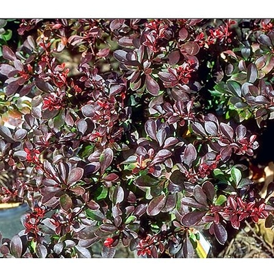 berberis thunbergii 39 atropurpurea nana 39 crimson pygmy barberry from greenleaf nursery. Black Bedroom Furniture Sets. Home Design Ideas