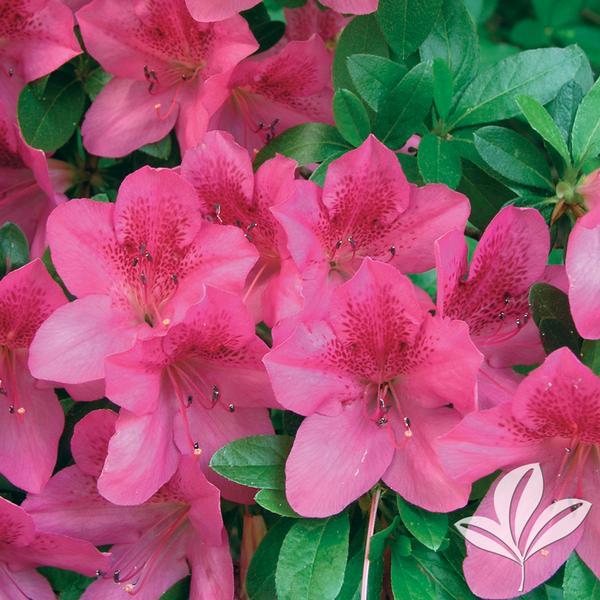 Rhododendron Satsuki Osakazuki Pink Azalea