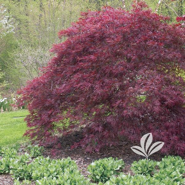 Acer Acer Palmatum Dissectum Red Dragon Red Dragon Japanese Maple