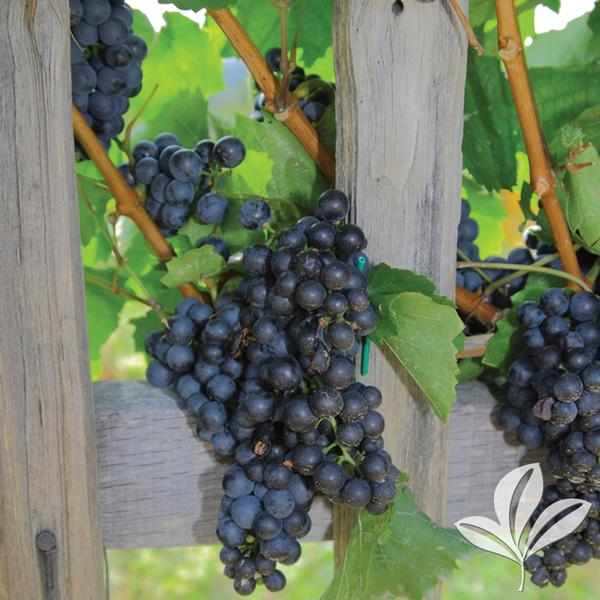 Vitis 39 mars 39 mars grape from greenleaf nursery for Table grapes zone 6