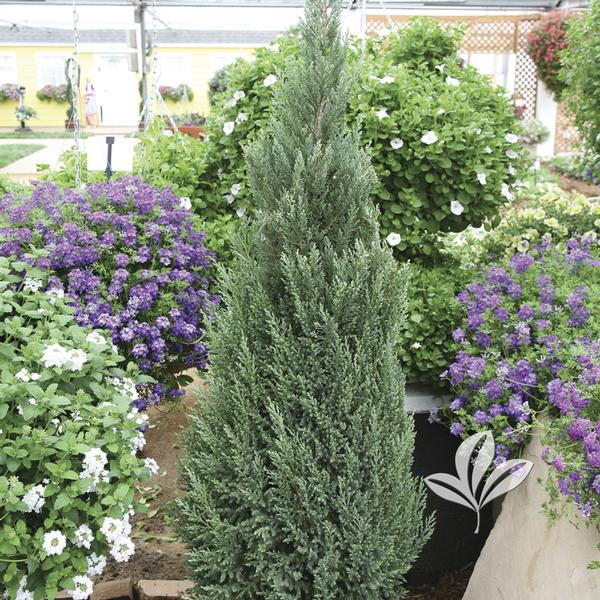 Juniperus Juniperus chinensis 'Blue Point' HOLIDAY BLUE POINT