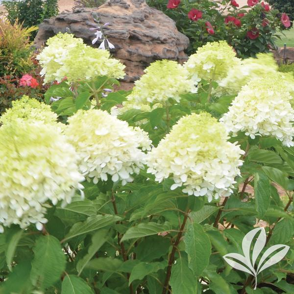 hydrangea paniculata 39 phantom 39 tidal wave tm hydrangea tree from greenleaf nursery. Black Bedroom Furniture Sets. Home Design Ideas