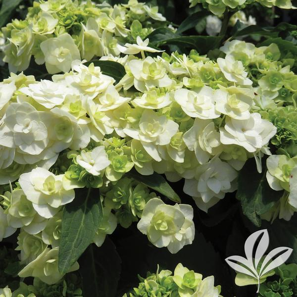 Hydrangea Macrophylla Wedding Gown: Hydrangea M. Hydrangea Macrophylla 'Dancing Snow' WEDDING