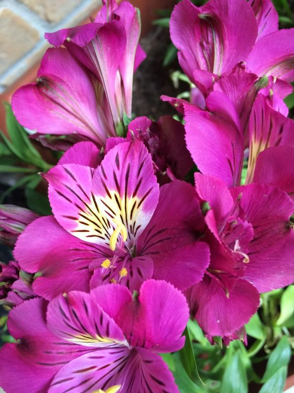 Alstroemeria Zaprilou Louise R Princess Lily Pp21011 From Greenleaf Nursery