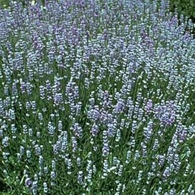 lavandula angustifolia 39 blue cushion 39 blue cushion. Black Bedroom Furniture Sets. Home Design Ideas