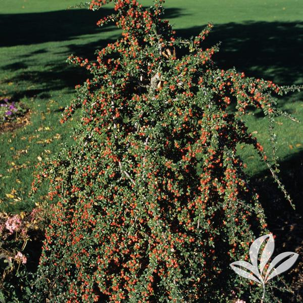 cotoneaster dammeri 39 coral beauty 39 royal beauty cotoneaster coral beauty from greenleaf nursery. Black Bedroom Furniture Sets. Home Design Ideas