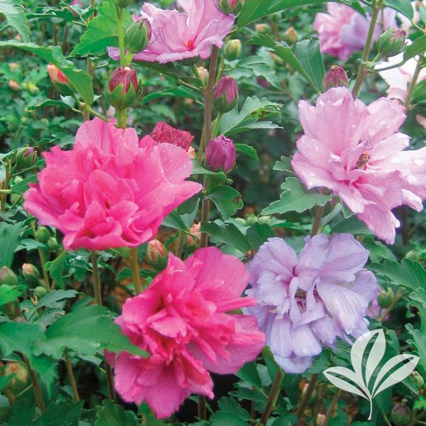 Hibiscus syriacus 'Grefwd' FIREWORKS DOUBLE ALTHEA from ...
