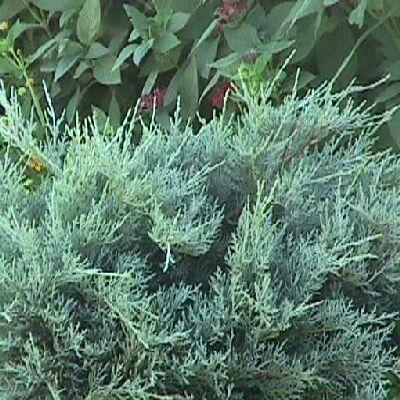 juniperus chinensis pfitzeriana özellikleri