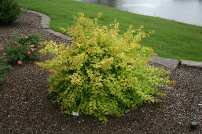 Dream Catcher Beauty Bush Kolkwitzia amabilis 'Maradco' DREAM CATCHERTM BEAUTY BUSH from 6
