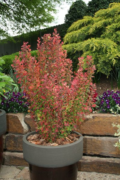 Orange Rocket Barberry in Winter http://www.greenleafnursery.com/index.cfm/fuseaction/plants.plantDetail/plant_id/1699/index.htm