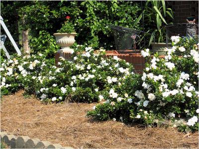 Gardenia Gardenia Augusta Crown Jewel Crown Jewel