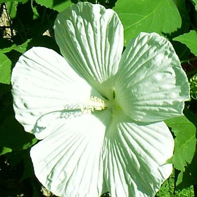 Plant Profile For Hibiscus Blue River Ii Hardy Summer