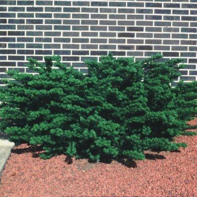 Taxus X Media Densiformis Densiformis Yew From Greenleaf Nursery