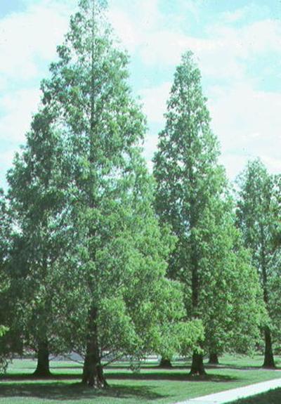 Metasequoia Glyptostroboides Dawn Redwood From Greenleaf