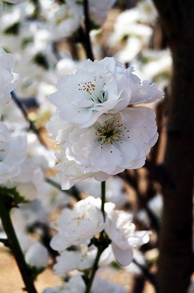Prunus Persica Corinthian White Corinthian White Fl
