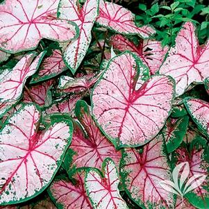 Caladium 'Apple Blossom'