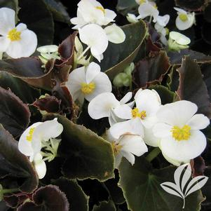 Begonia 'Whiskey'