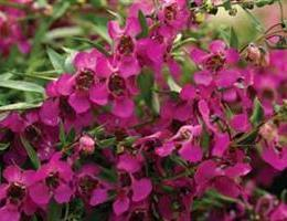 Angelonia angustifolia 'Car Rasp'