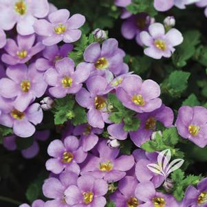 Bacopa 'Scopia Great Classic Pink'
