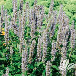 Agastache 'Blue Fortune'