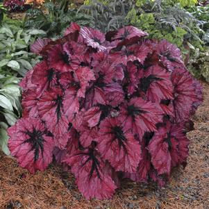Begonia 'Ruby Slippers'
