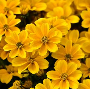 Bidens ferulifolia 'Golden Empire'