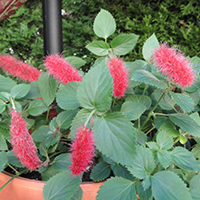 Acalypha 'Summer Love'