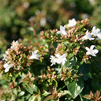 Abelia x grandiflora 'Rose Creek'