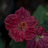 Abutilon x hybridum 'Bella Red'