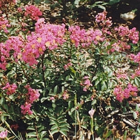 Lagerstroemia indica 'Coral Filli'