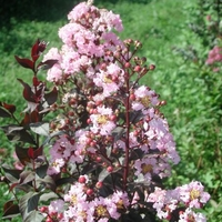 Lagerstroemia indica 'Whit VIII'