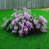 Lagerstroemia indica 'Orchid Cascade'