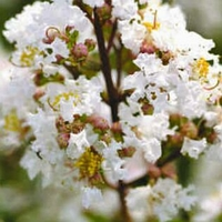 Lagerstroemia indica 'White Chocolate'