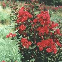 Lagerstroemia indica 'Whit IV'