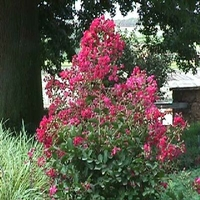 Lagerstroemia indica 'Low Flame'