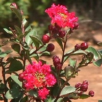 Lagerstroemia indica 'Whit V'