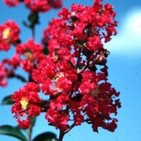 Lagerstroemia indica 'Victor'