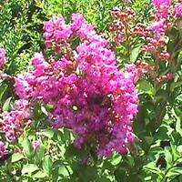 Lagerstroemia indica 'Royalty'