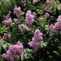 Lagerstroemia indica x fauriei 'Basham's Party Pin