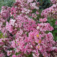 Lagerstroemia indica 'Prairie Lace'
