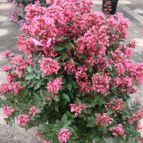 Lagerstroemia 'Coral Magic'