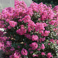 Lagerstroemia 'Plum Magic'