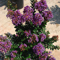 Lagerstroemia 'Purple Magic'