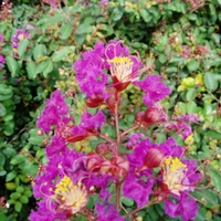 Lagerstroemia 'Velma's Royal Delight'