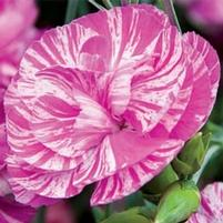 Dianthus 'Cosmic Pink Swirl'