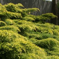 Juniperus chinensis 'Pfitzeriana Gold Lace'