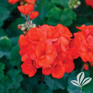 Pelargonium 'Rocky Mountain Orange'
